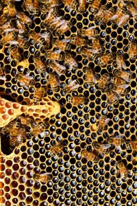 apis-mellifera-bee-beehive-56876